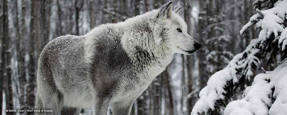 MontySloan-WolfSongofAlaska-3.jpg