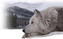 Sidra the wolf laying in the snow
