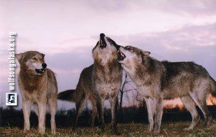 Group Howling by Monty Sloan